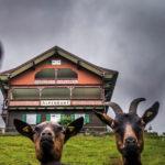 Sprache, Vorarlbergerisch, Bild: Ziegen Kleinwalsertal (c) Dietmar Denger