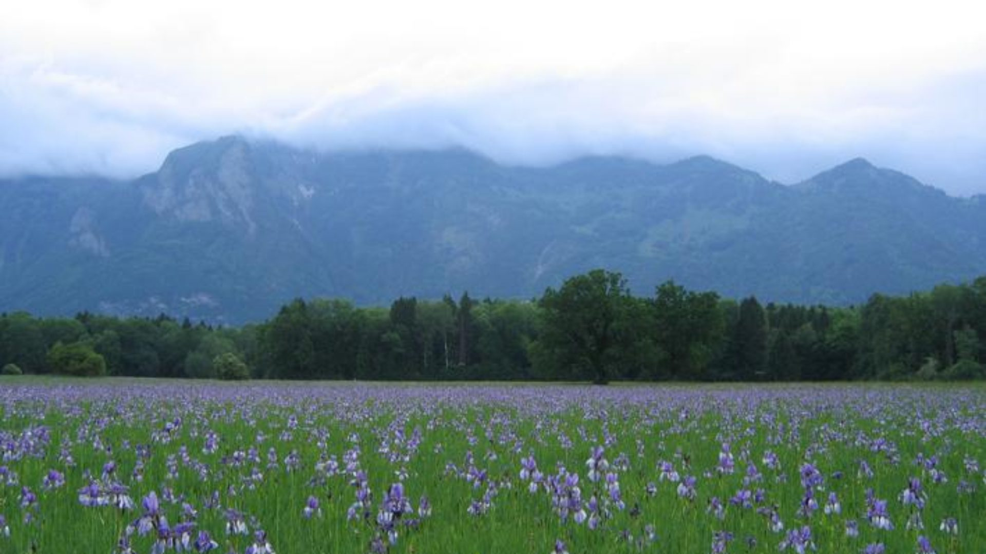 Irisblüte in Bangs