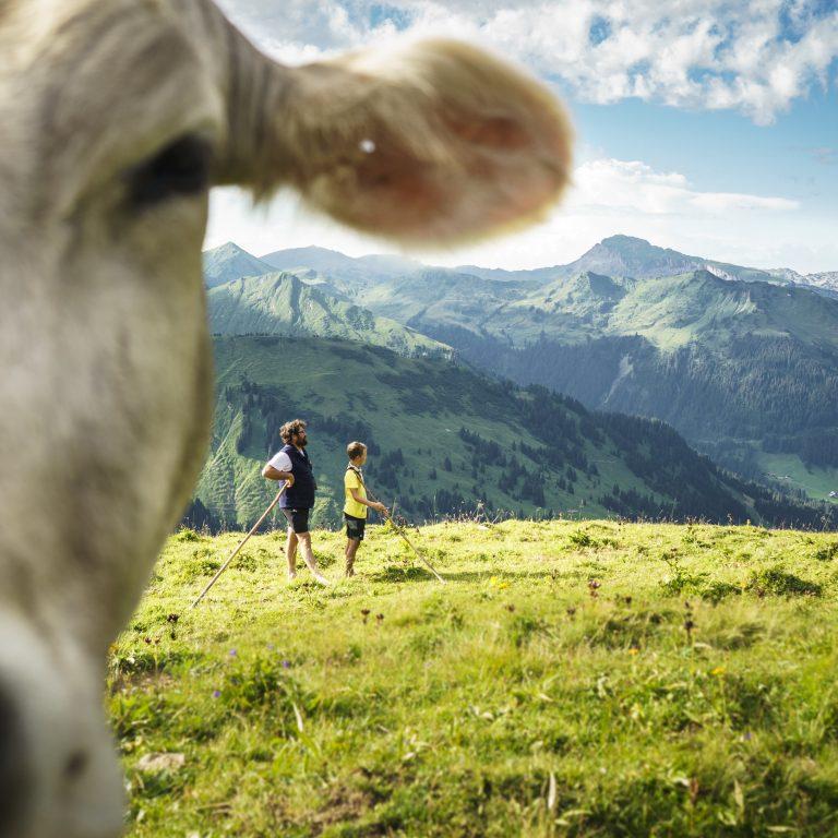 Kuh auf der Bärguntalpe (c) Vorarlberg Tourismus