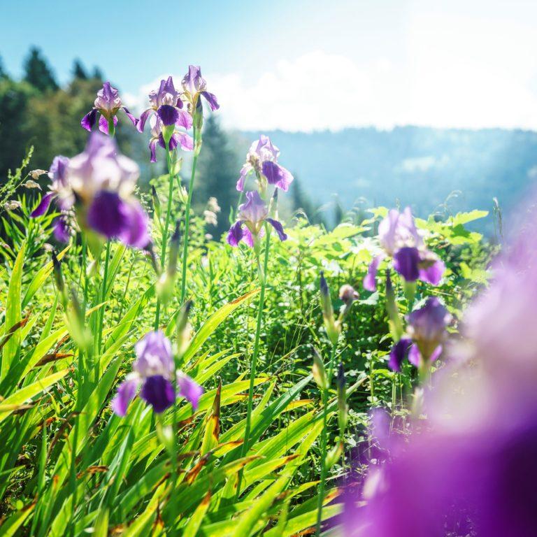 Blumenwiese, Wiesenmeisterschaft, Alpe Streichbrunnen, Hittisau (c) Dietmar Denger / Vorarlberg Tourismus