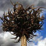 Der Geweihbaum