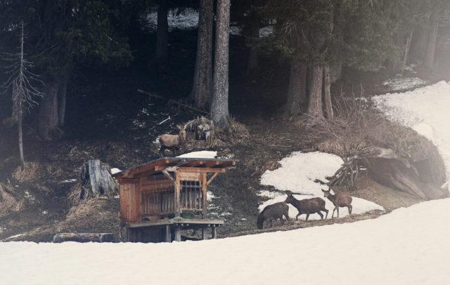 Geführte Wildtierfütterung, Zug/Lech © Markus Gmeiner / Vorarlberg Tourismus GmbH