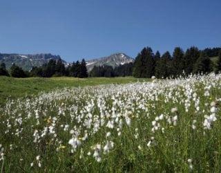 Frühling in Vorarlberg, Moor mit Wollgras, Livecams (c) Christoph Lingg / Bregenzerwald Tourismus