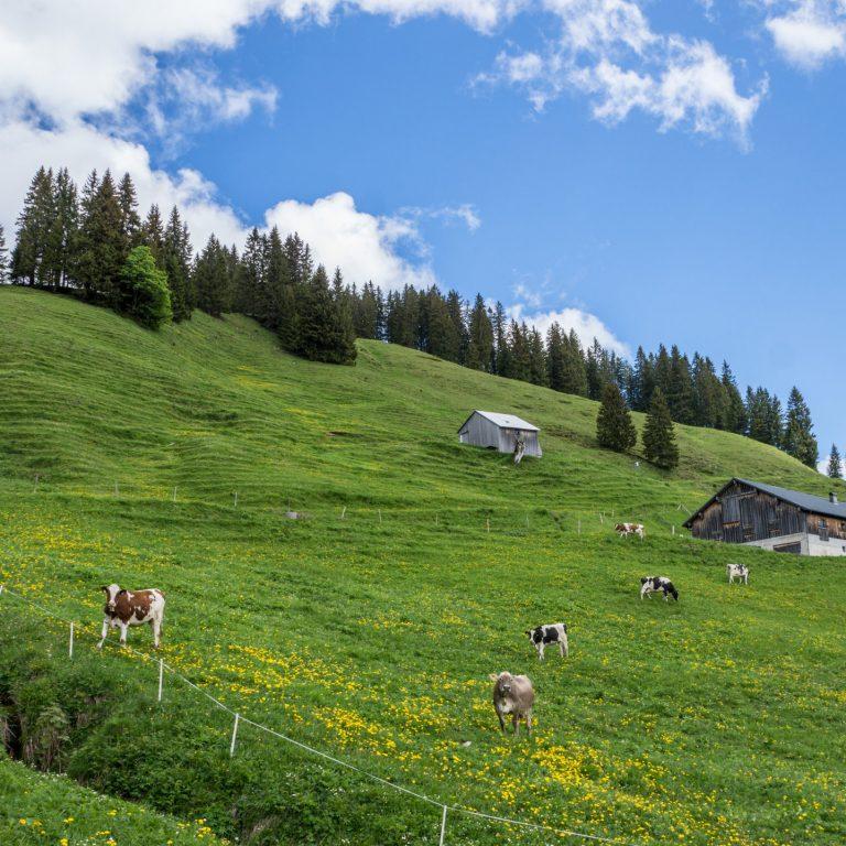 Im Alpgebiet Vögels Neualpe, Tiere auf der Weide © Helmut Düringer / Vorarlberg Tourismus GmbH