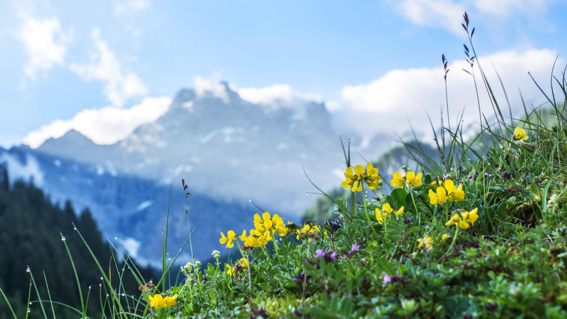 Blumenwiese mit Panuelerkopf © Helmut Düringer / Vorarlberg Tourismus