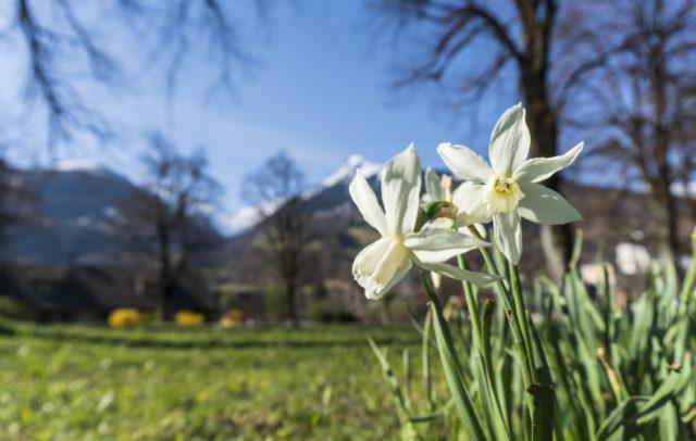 Narzissen am Litzdamm, Spazierwege im Frühling © Agnes Ammann / Vorarlberg Tourismus