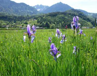 Radfahren bei der Irisblüte im Walgau (c) Verena Hetzenauer / Vorarlberg Tourismus
