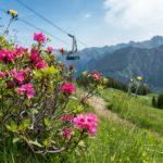 Alpenblüte am Fellhorn