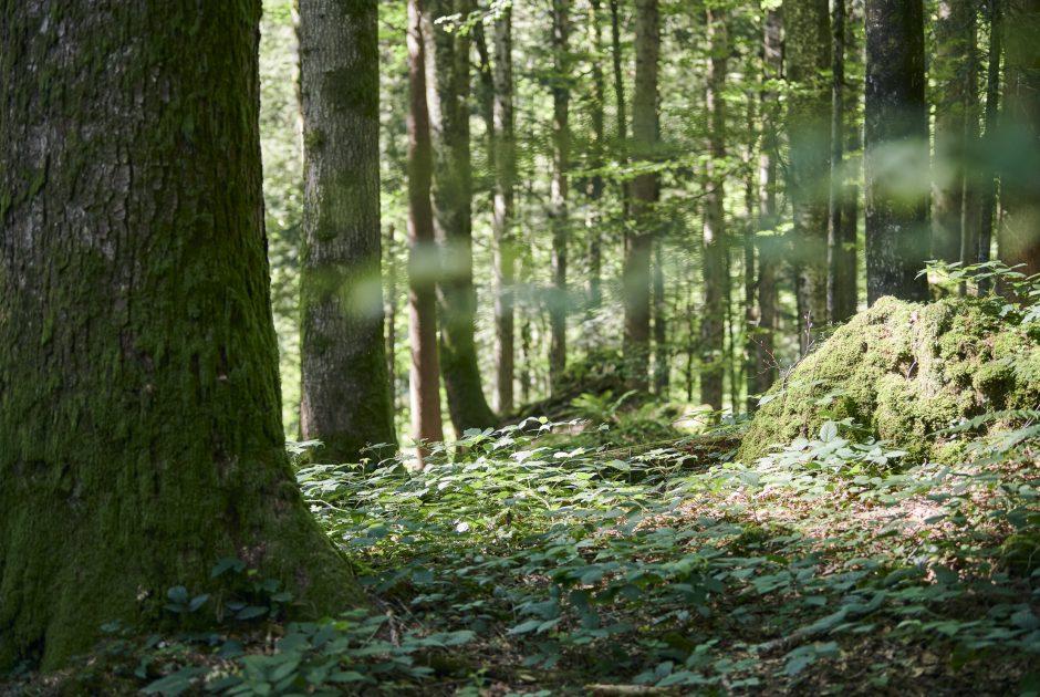 Wald im Lecknerholz (c) Alex Kaiser - Bregenzerwald Tourismus