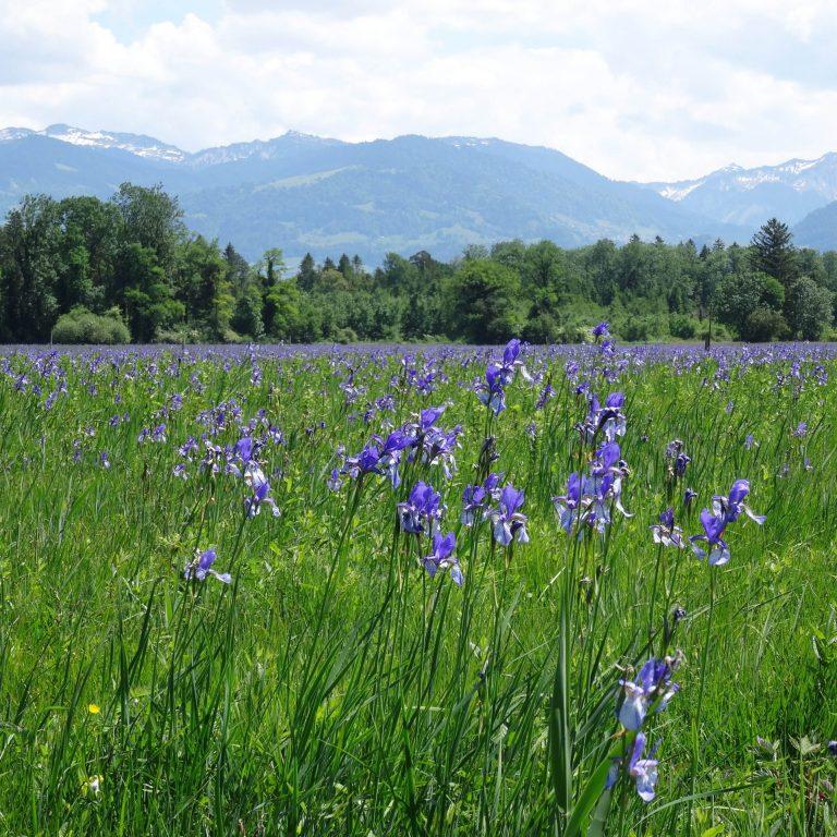 Unterried Irisblüte (c) RM Europaschutzgebiete