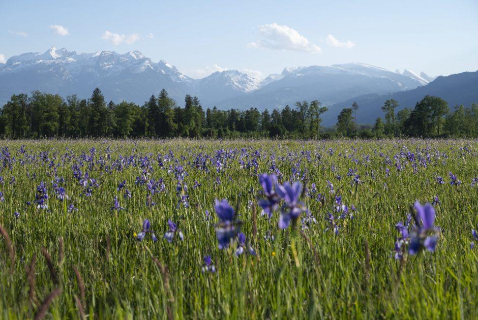 Bangs-Matschels Iris-Blüte © Martin Vogel / Vorarlberg Tourismus